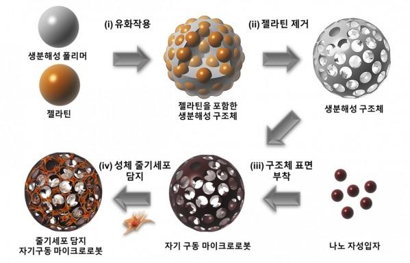 줄기세포 기반 마이크로의료로봇 제작 과정. - 마이크로의료로봇센터 제공